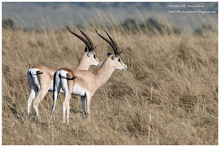 https://bioclicetphotos.blogspot.fr/search/label/Gazelle%20de%20Grant