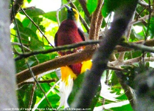Birding in West Papua Forest of Indonesia