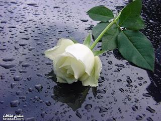 صور ورد ابيض , صور زهور بيضاء , بوكيه ورد ابيض