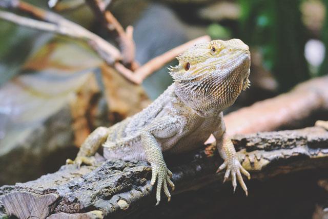 Museum lizard
