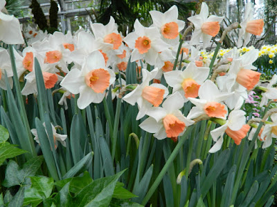Pink Charm narcissus daffodils at the Allan Gardens Conservatory 2016 Spring Flower Show by Paul Jung Gardening Services
