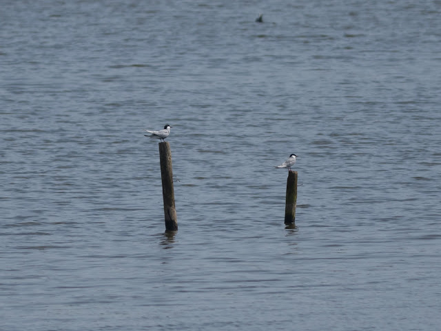 Whiskered Terns - Sandbach Flashes, Cheshire