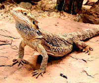 Australian central bearded dragon