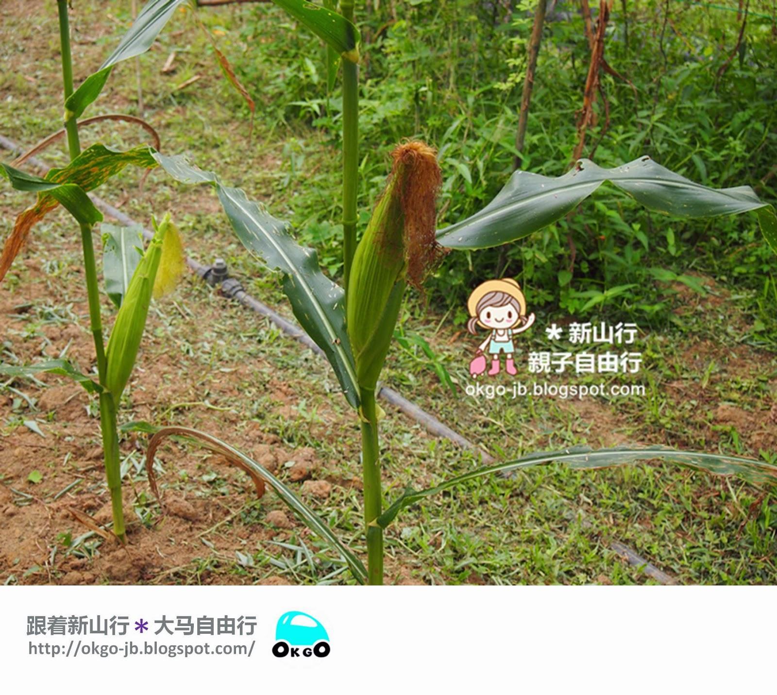 Kluang UK Farm corn