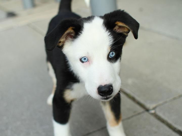 Husky Collie Mix Puppies Husky puppy mix