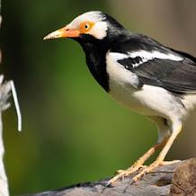Beberapa Cara Mengatasi Burung Jalak Suren Yang Macet Bunyi