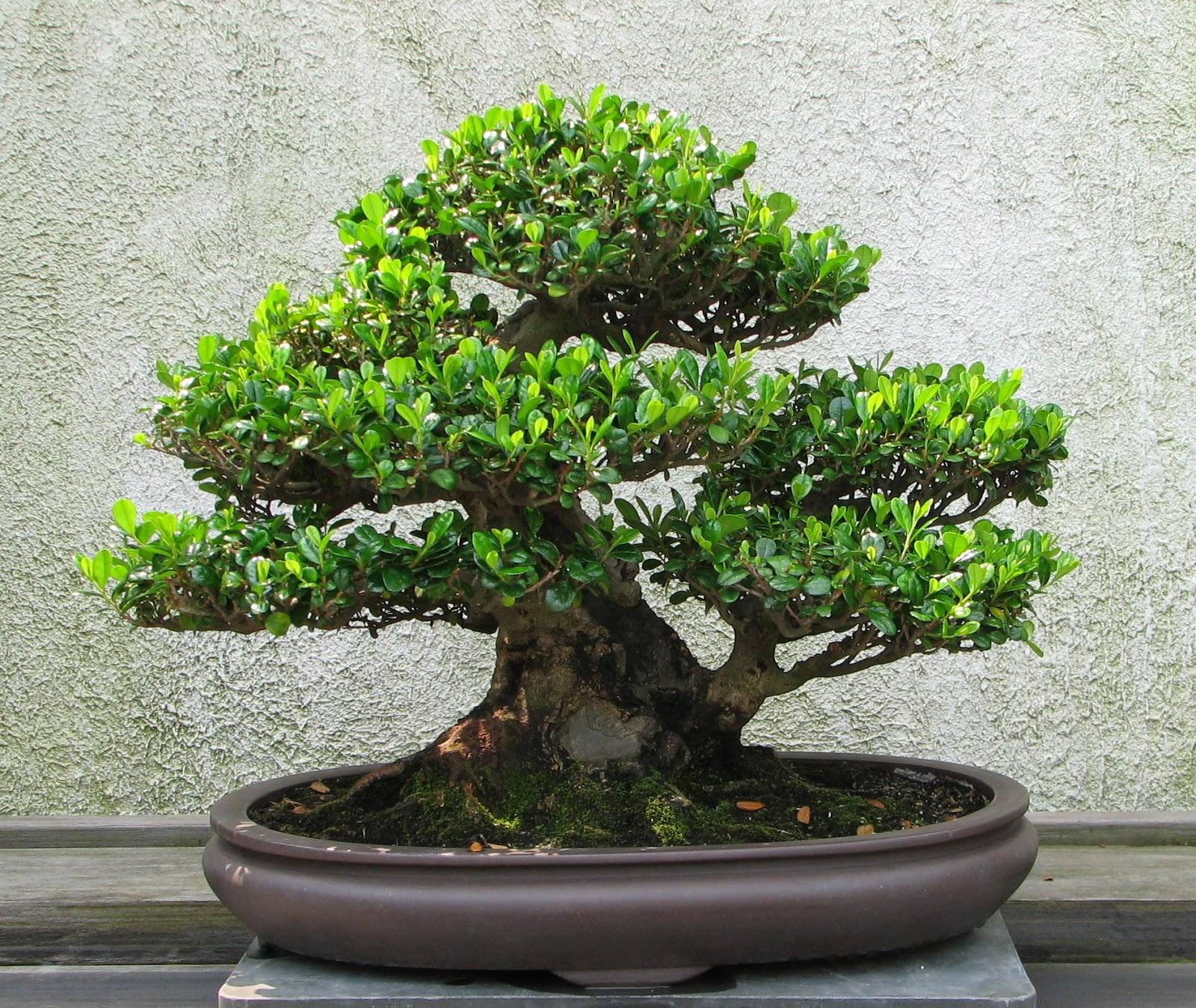 Bonsai Tree 17 Awesome Wiki Bonsai Inspirations