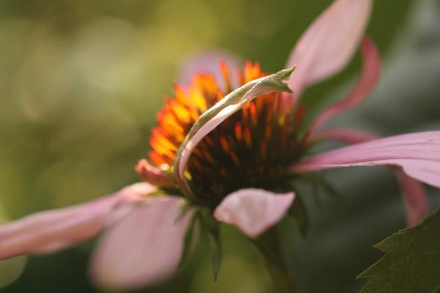 Echinacea pink petals perennial in the garden