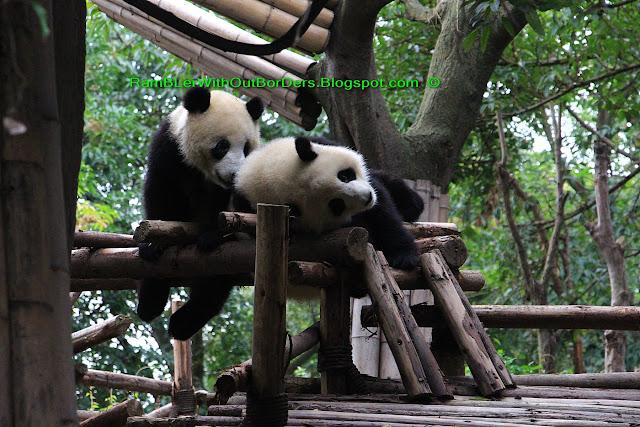 Giant panda, Chengdu Research Base of Giant Panda Breeding, Chengdu, Sichuan, China