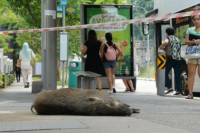 The wild boar died after it tried to escape and was hit by a bus.