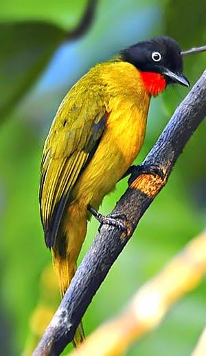 Foto Burung Kutilang Emas Jantan