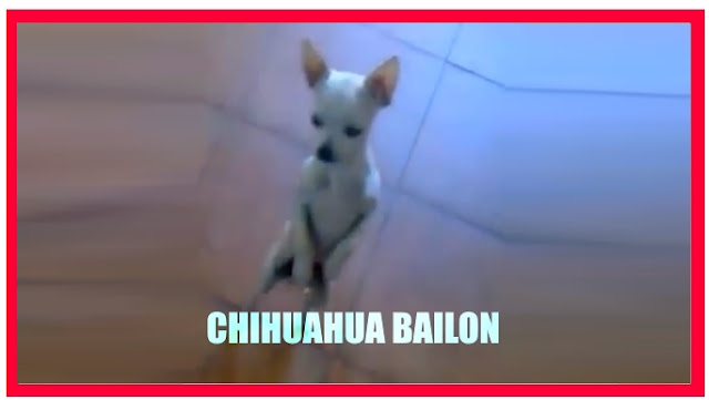 imagenes graciosas de animales chihuahua bailon