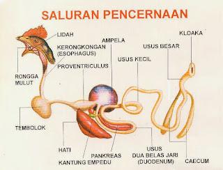 saluran pencernaan ayam atau unggas