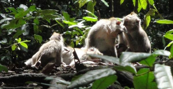 Ubud Monkey Forest - Ubud, Monkey Forest, Bali, Holidays, Tours, Attractions