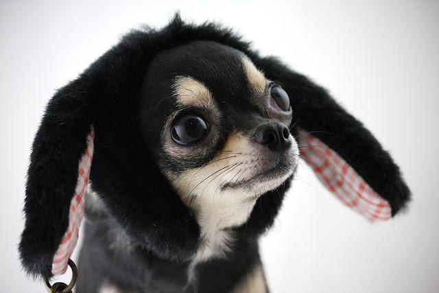 chihuahua pies czapka krolik uszy