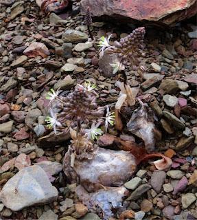 Drimia physodes - Karree Rivier Tanqua Karoo
