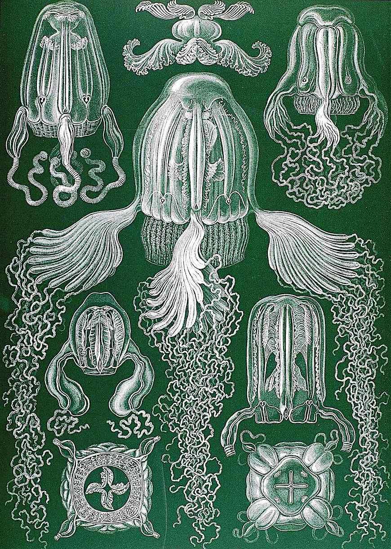 Ernst Haeckel zoological color illustration