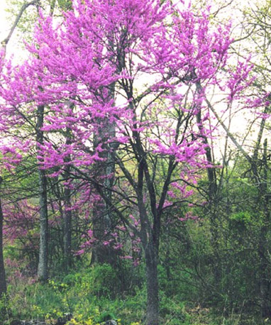 Plant Profile Eastern Redbud Cercis Canadensis
