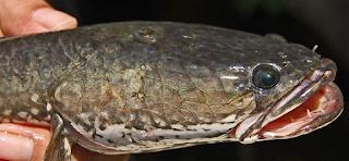 bentuk kepala ikan gabus