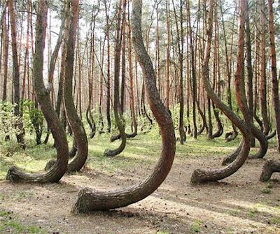 Hutan bengkok ini terletak di Polandia barat