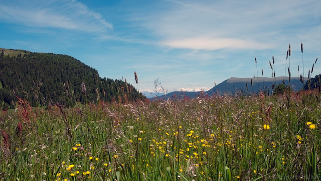 Alpe di Siusi, prati in fiore