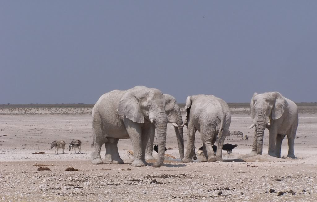 Picture of Namib desert elephants.