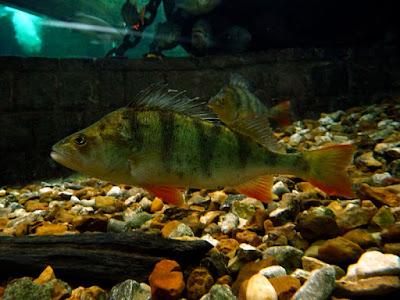 European Perch Fish