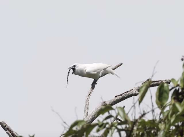 This Is The Loudest Bird On Earth, And It Sounds Nothing Like A Bird