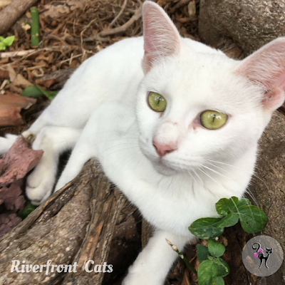 white cat feral cat need outdoor connection