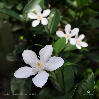 ดอกพุดพิชญา ( Wrightia antidysenterica ) ดอกโมกต่างถิ่น จากศรีลังกา