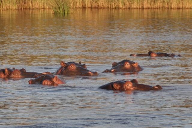 Parque Humedal iSimangaliso en Santa Lucia, hipopótamos al atardecer