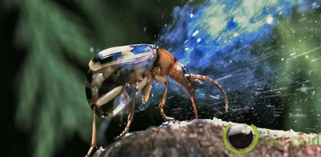 Bombardier Beetle (Kumbang Pengebom)