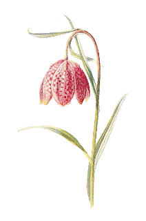 flower botanical image wildflower illustration