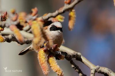Pájaro-moscón europeo - Eurasian penduline-tit - Remiz pendulinus Macho alimentándose de los amentos del chopo, aun por salir.