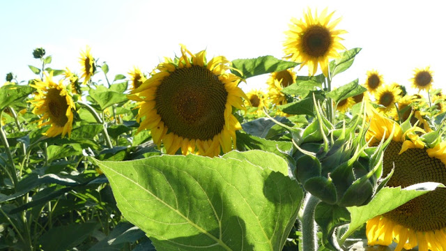 Moldawien - Feld mit Sonnenblumen