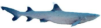 Tubarão Gália Branca