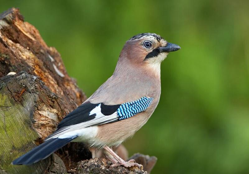 Emidio civitillo cusano mutri bn la ghiandaia ha - Uccelli che sbattono contro le finestre ...