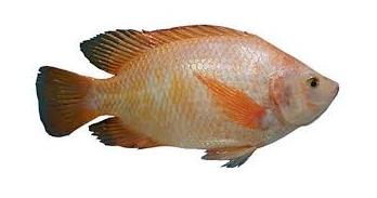 Cara Paling Mudah Budidaya Ikan Nila Hasil Sangat Melimpah