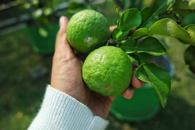 Jeruk yang dikelola dengan baik serta pupuk yang bagus untuk menghasilan tanaman yang berkualitas
