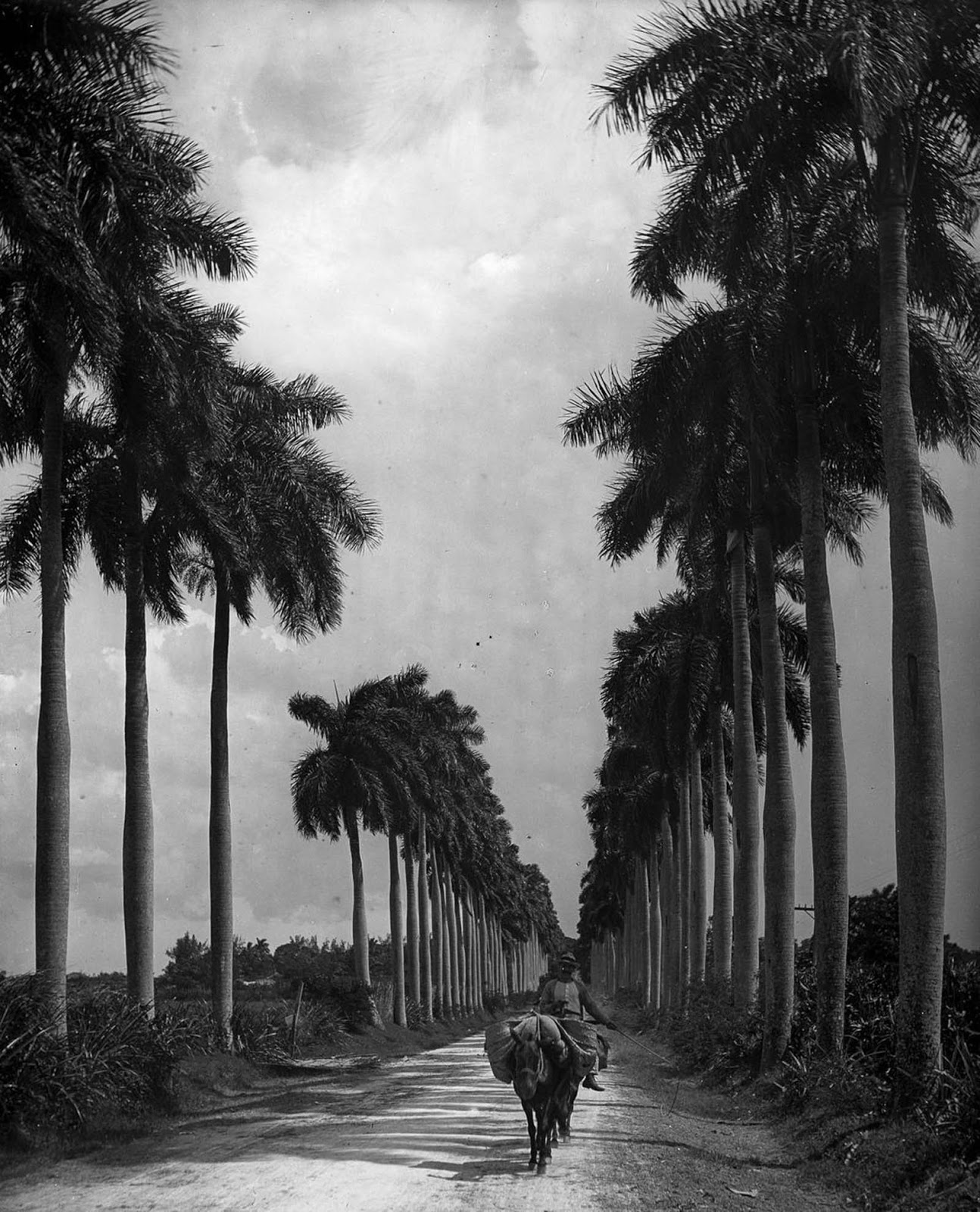 An avenue of palms on the outskirts of Havana. 1903.