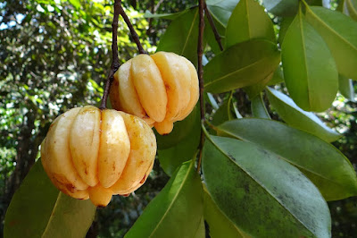 Garnicia Cambogia