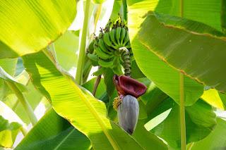 Pharmakologi , bioinsekta dan makanan dari pohon pisang
