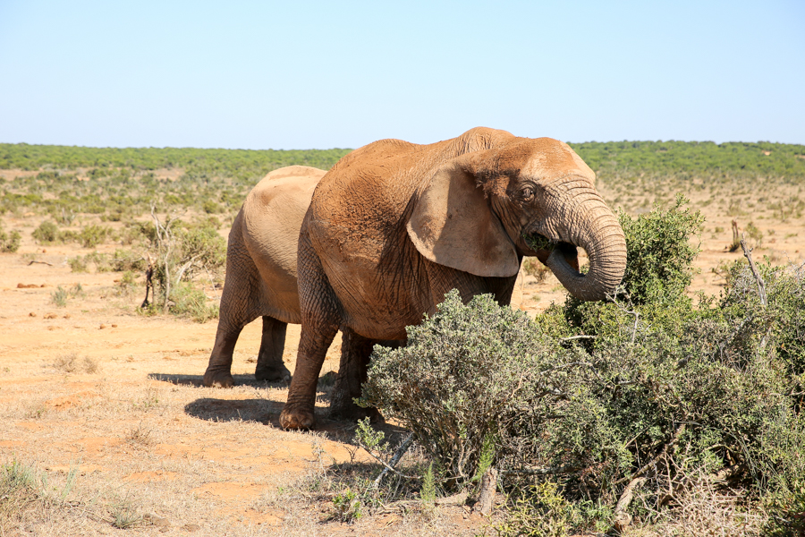 Travel Guide, South Africa, Addo Elephant Park