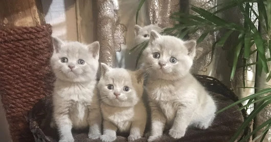 Show Quality Scottish Fold Kittens