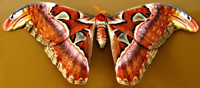 Medindo cerca de 30 centímetros de envergadura (de uma ponta a outra da asa), a mariposa-atlas ou atlas-gigante (Attacus atlas) é considerada uma das maiores do mundo.   Com suas asas  grandes dimensões, de belos desenhos e fortes coloridos, a espécie corre o risco de extinção , por ter sido muito caçada por colecionadores.