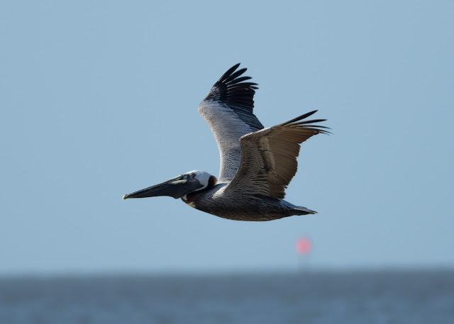 Brown Pelican - Bunche Beach, Florida