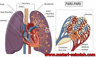 Tubuh insan merupakan kawasan berlangsungnya banyak sekali proses metabolisme Materi Sekolah |  Sistem Ekresi Pada Manusia