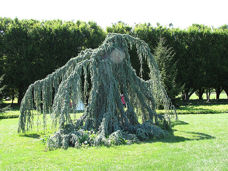 weeping blue atlas cedar - Weeping Blue Atlas Cedar Tree Planting Instructions Home Guides