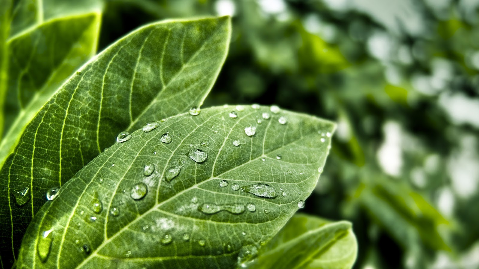 Green Leaf Wallpapers