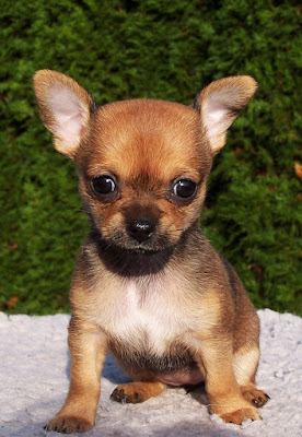 Chihuahua color fuego